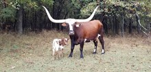 #2060 - HR White Shield x Cowboy Tuff Chex